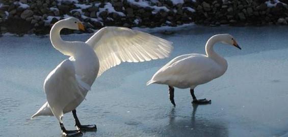 Whooper Swan Pair