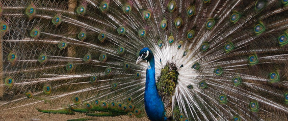 India Blue Eyed White Male