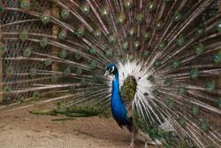 india-blue-white-eye-pied-male-1024x685.