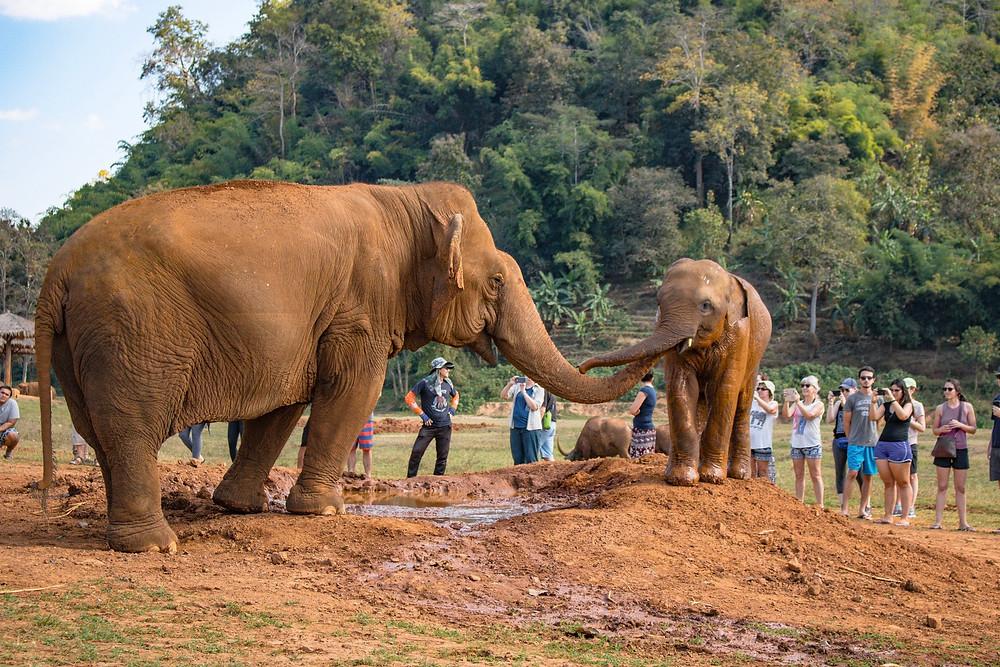 Baby elephant and adult elephant mud bath
