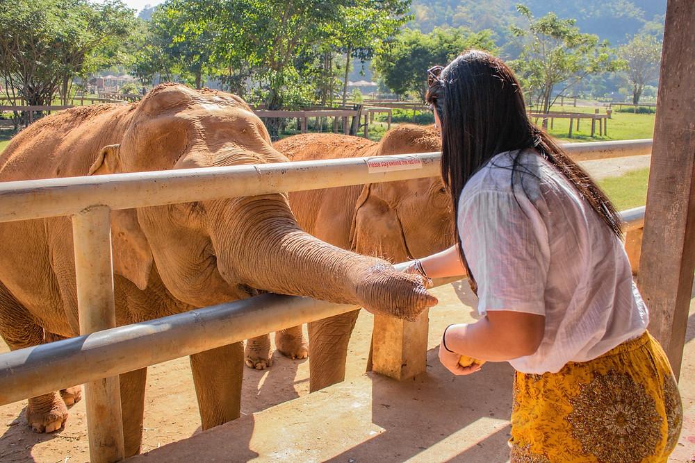 Feeding elephants at Elephant Nature Park Thailand