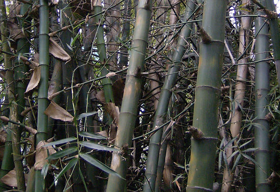 Philippine-bambusa-blumeana-bamboo-poles