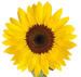 Sunflower-PNG-Free-Download_edited.png