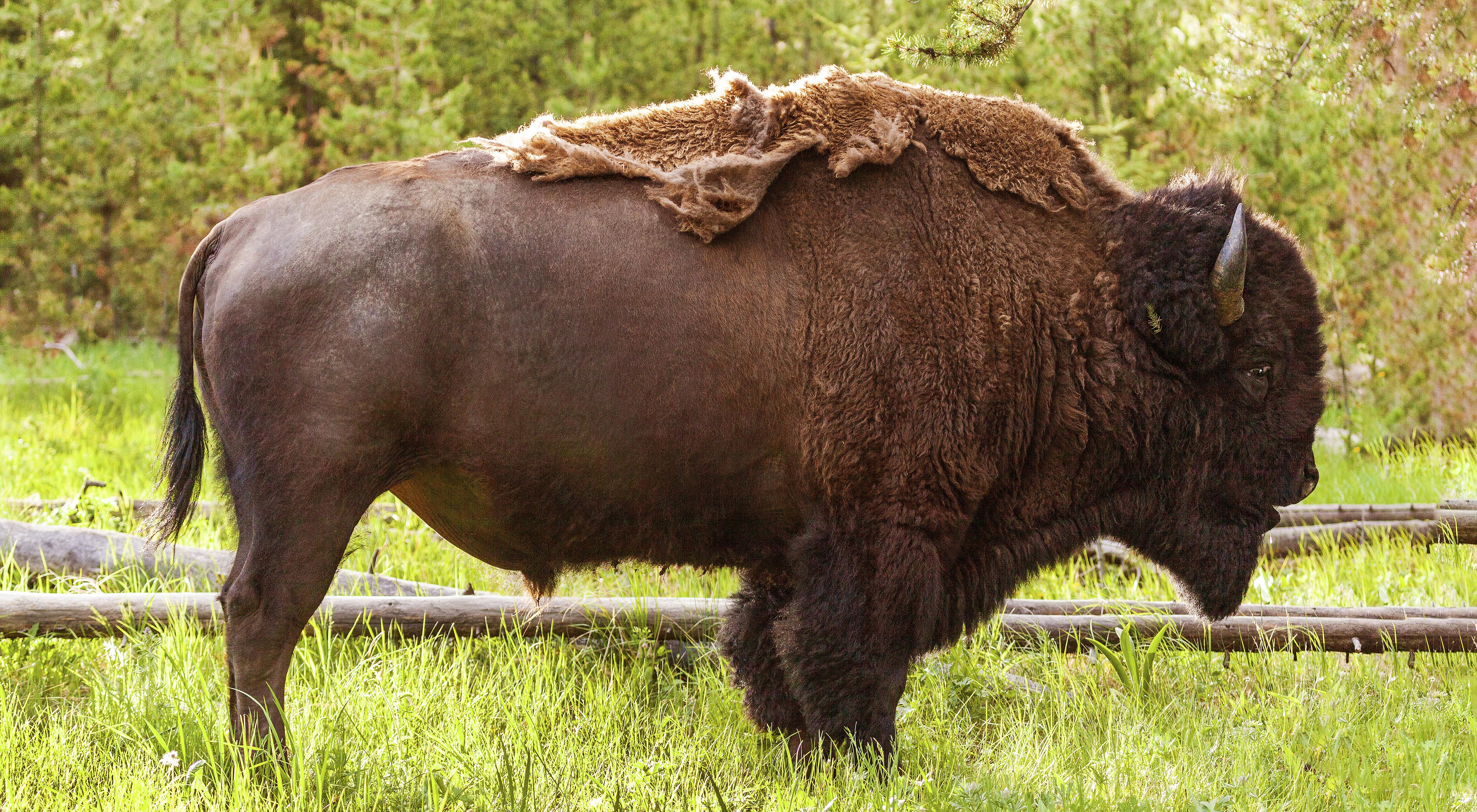 Bison Cape