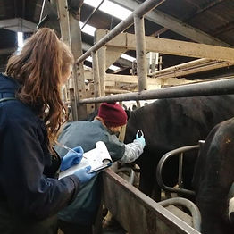 Premium Cattle and HiHealth Herdcare testing
