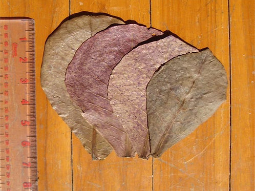 """Indian Almond Leaves Small - 3"""" - 6""""+"""