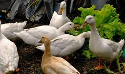 DucksHeader.jpg