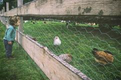 chickens-asheville-1024x750-1024x675.jpg