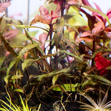 cryptocoryne-nurii-tissue-culture-362417