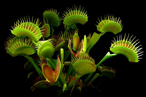 Venus Fly Trap (B103)