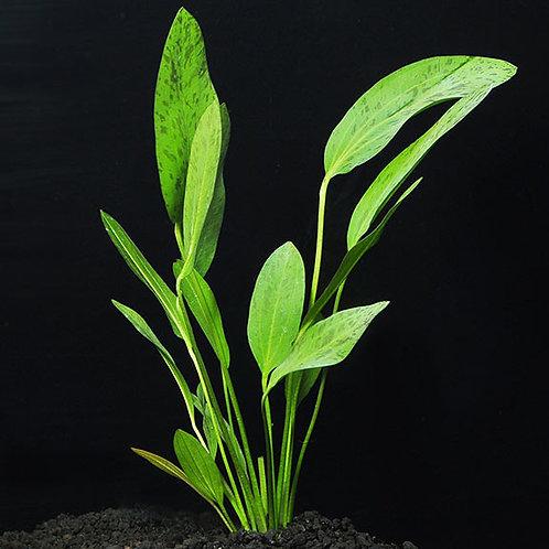 Ozelot Sword Plant
