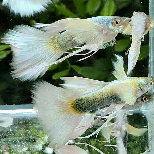 German Ribbon Guppy