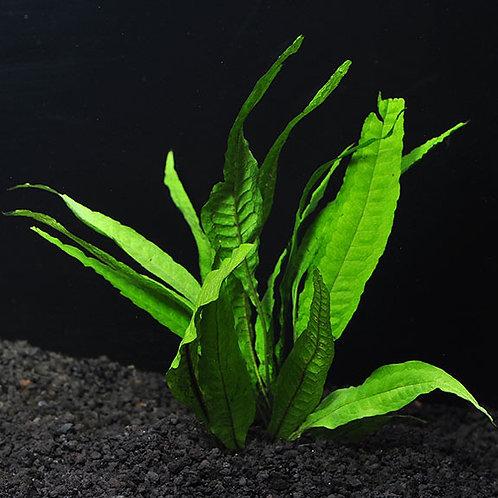 Java Fern