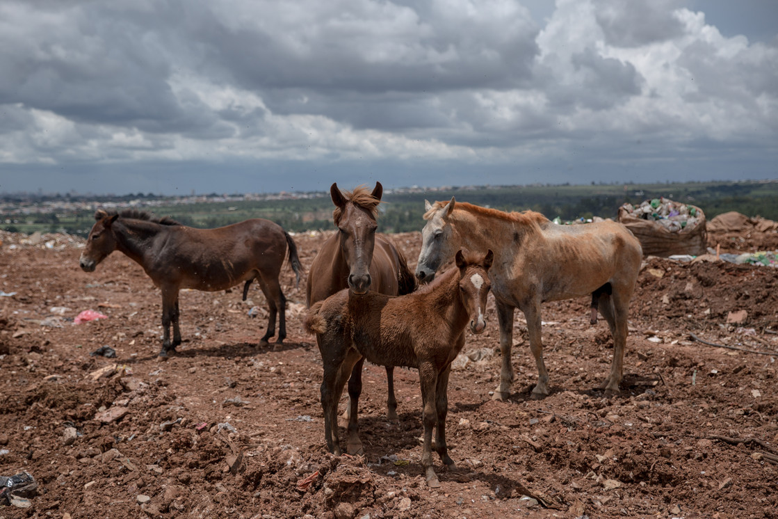 Horses in the largest waste dump in Latin America, which are used to transport recycled items, at the Estrutural dump in Brasilia, on Monday, Jan. 15, 2018. The dump is surrounded by the Estrutural neighborhood, where 35,000 people live. . The largest waste dump in Latin America is shutting down in Brasilia for sanitary reasons, upending the livelihood of thousands of garbage recyclers.