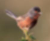 Dartford Warbler2.png