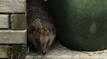 A Number Of Hedgehog Sightings Reported In Mayford