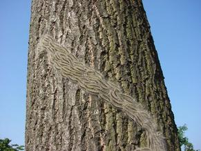 WARNING! Regards Oak Processionary Moth Caterpillars