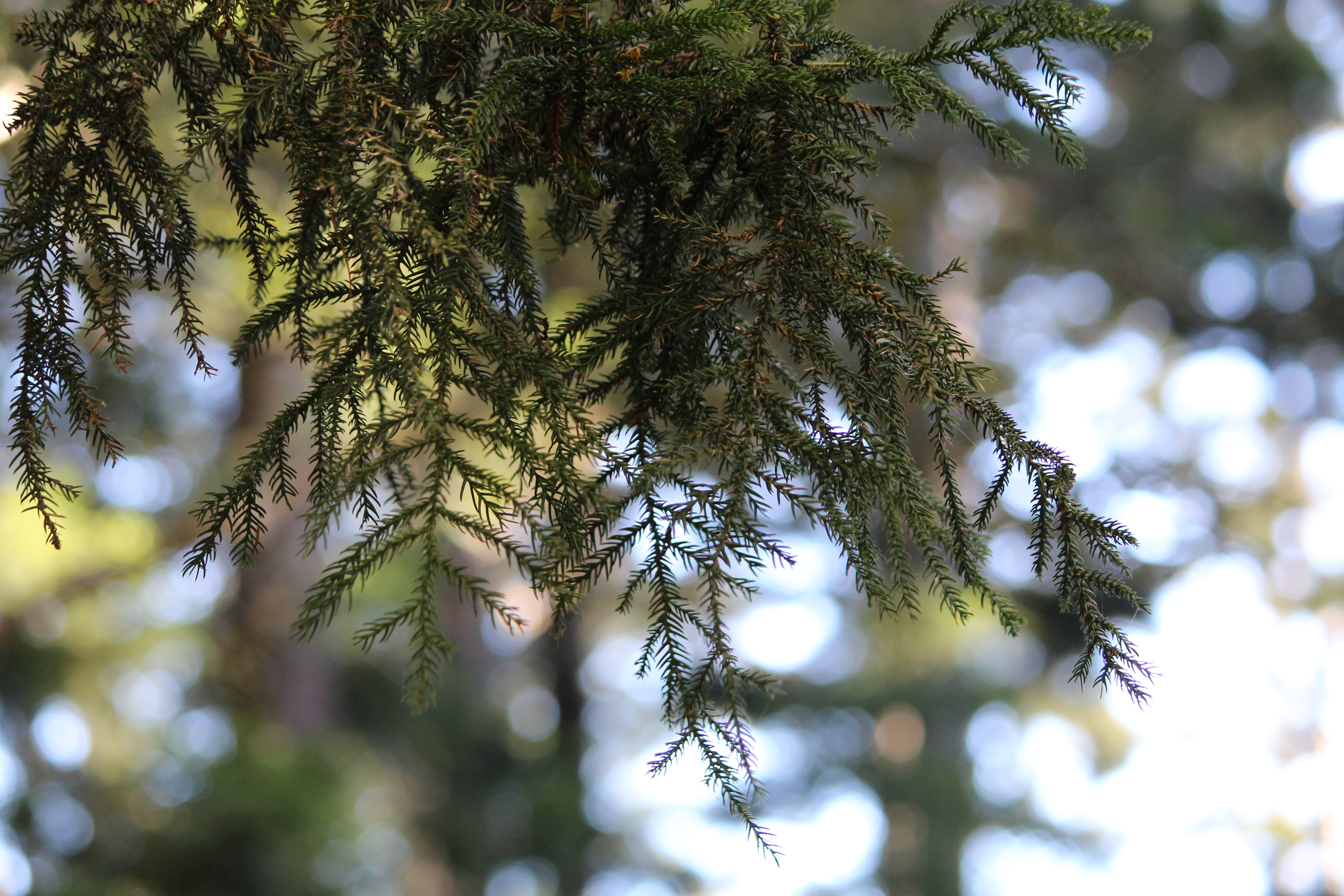 Yarraman Hoop Pine Forest