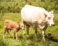 Puerto Rico free range cattle
