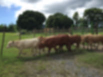 Puerto Rico grassfed cattle