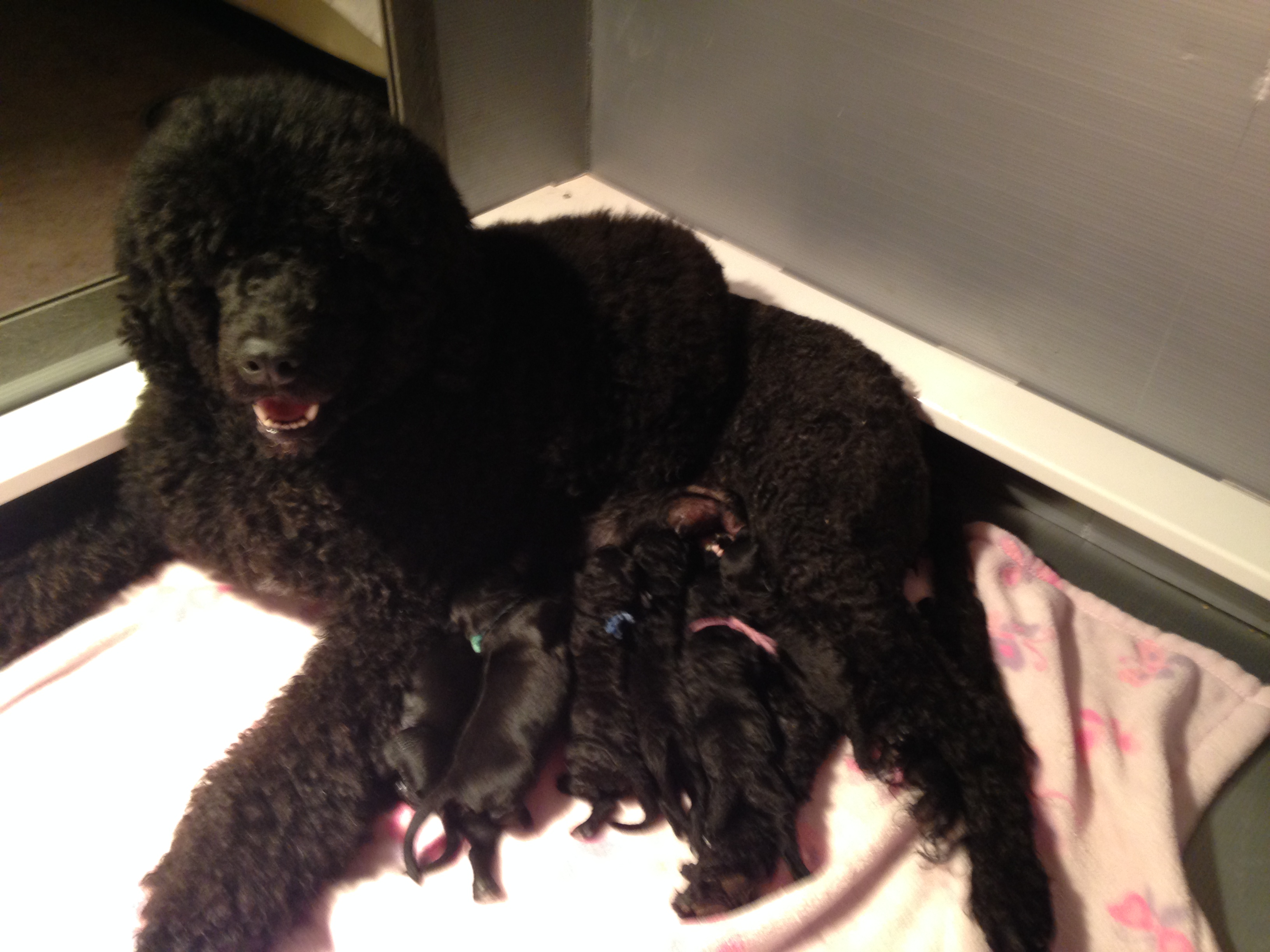 Rosie and pups just born.jpg