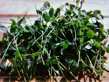 Small but Mighty: Microgreens