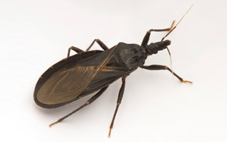 """Kissing Bugs"" Spread Chagas"