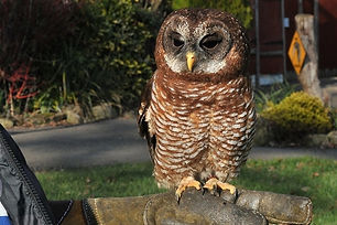 african-wood-owl-two-cotswold-falconry.j
