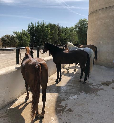 Nydusjede hester