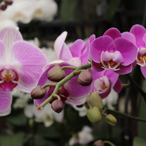 "Single Stem Orchid 4"""