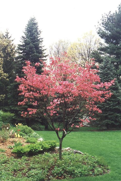"""'Cherokee Brave' Flowering Dogwood 2"""" Caliper"""