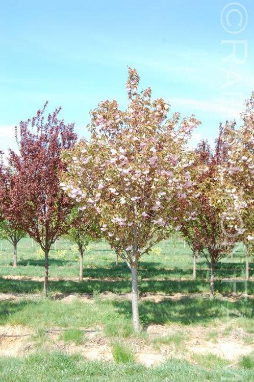 """'Kwanzan' Flowering Cherry 2"""" Caliper"""