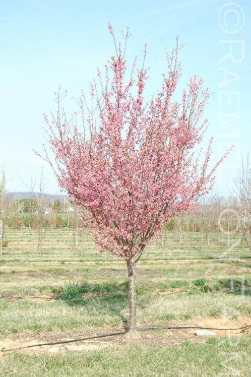 "'Okame' Flowering Cherry 2"" Caliper"