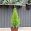 """Thumbnail: Lemon Cypress 6"""""""