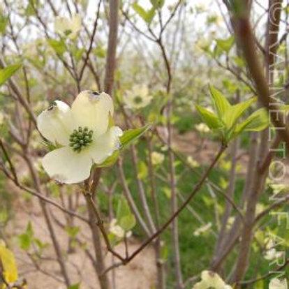 'Appalachian Spring' Flowering Dogwood