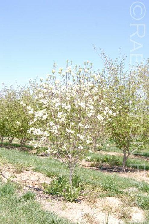 """'Cherokee Princess' Flowering Dogwood 2"""" Caliper"""