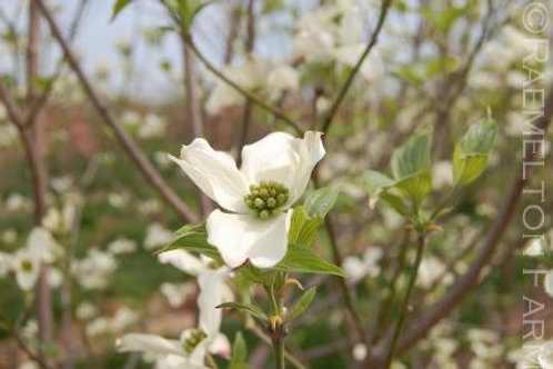 "'Appalachian Snow' Flowering Dogwood 2"" Caliper"