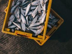 Æske med Frisk Fisk