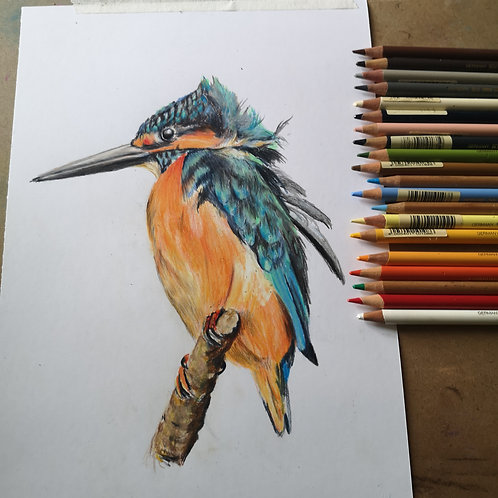Kingfisher colour Pencil Tutorial