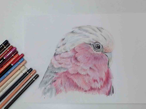 Galah colour Pencil Tutorial