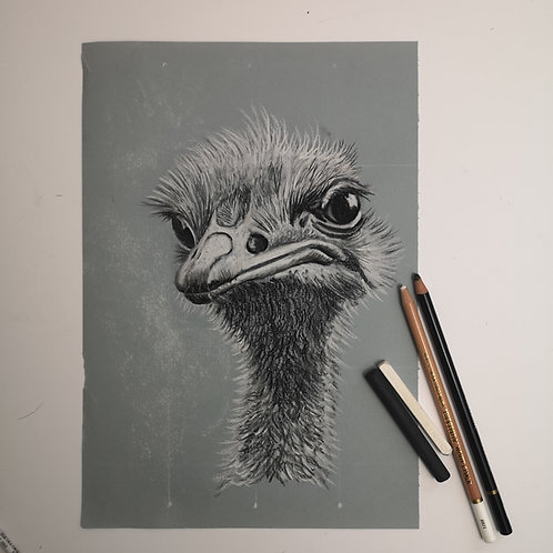 Olly the Ostrich, charcoal and chalk on pastel mat