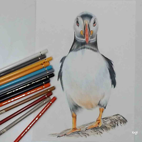 Puffin colour Pencil Tutorial