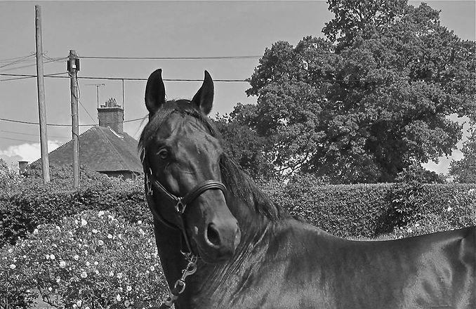 El Thuder Grade A stallion