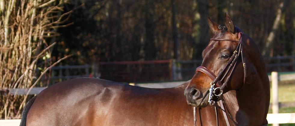 Craig trakehner stallion