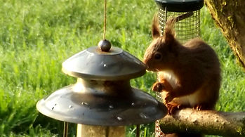 red squirrel 29 april 2014 033.JPG