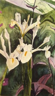White Iris - Watercolor