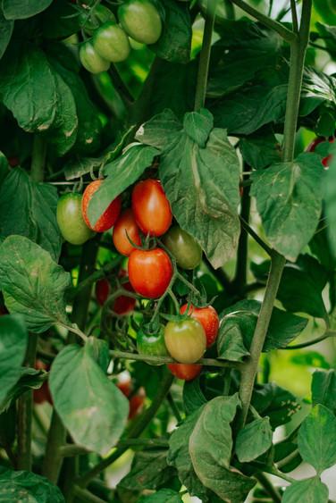 Farmers Alliance_Tomatoes 1.jpg