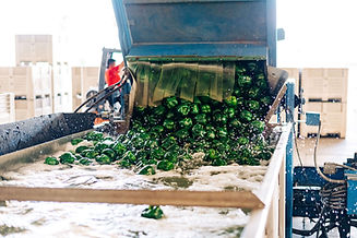 green-bell-peppers-being-sorted