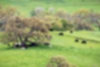 grassfedcowpasture.jpg