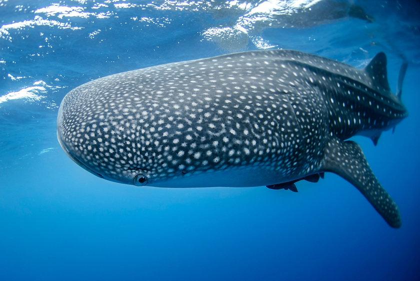 Whale shark in Djibouti.jpg